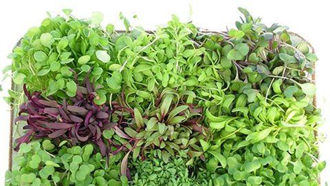 A mikrozöldség az új gasztrodivat