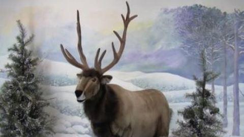 Luxusajándék karácsonyra: életnagyságú, beszélő rénszarvas