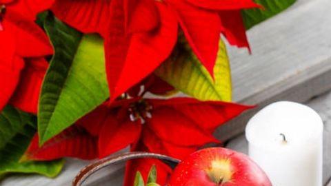 Hogyan tartsuk életben a mikulásvirágot?