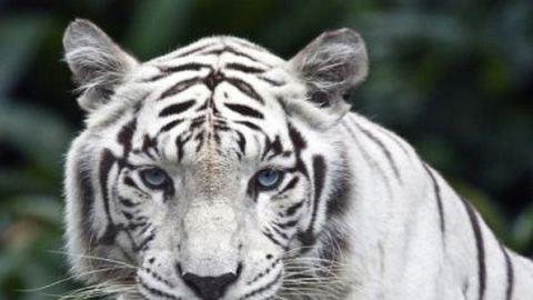 Már tigrist vagy oroszlánt is vásárolhatunk a neten