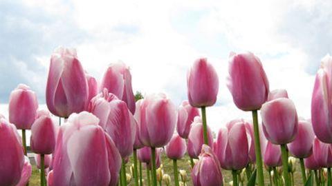 Lopásbiztos tulipánokat ültetnek Debrecenben