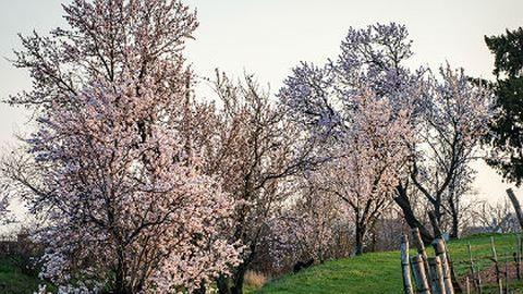 Virágoznak a mandulafák szerte az országban