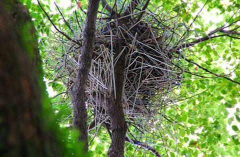 Elképesztő fotók: eldobált vállfákból építenek fészket a madarak