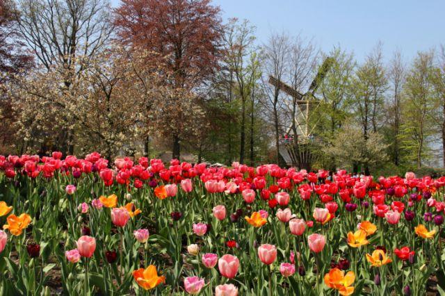 Ház árával vetekedett egykor a tulipánhagyma