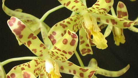 Nemcsak gyönyörködni jó bennük: gyógyító és ehető orchideák