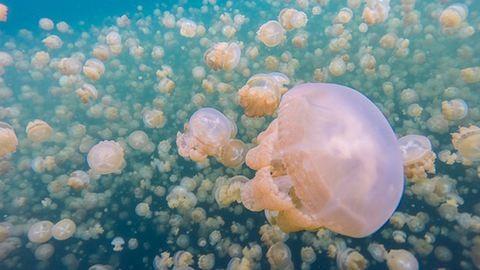 Létezik egy tó, ahol nem csípnek a medúzák – képek