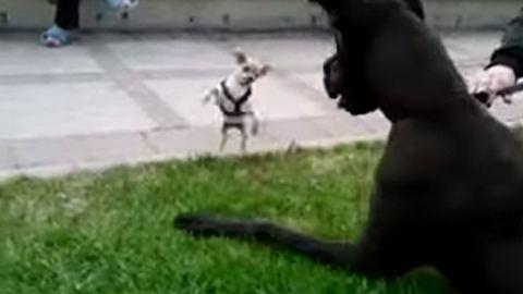 Dán dogra támadt a csöpp csivava – videó