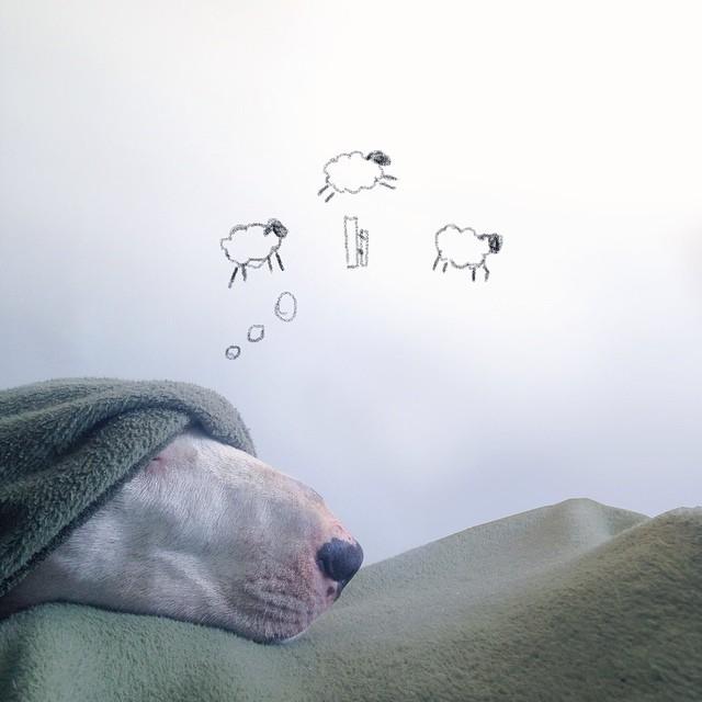 Bull terrier nem volt még ennyire cuki - képek