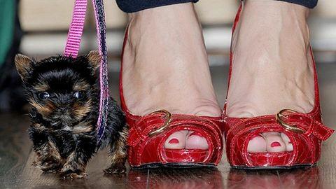 5 centi magas a világ legkisebb kutyakölyke – fotók