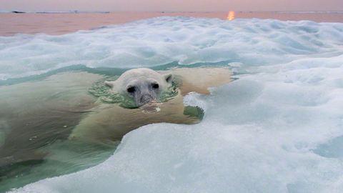 Gyönyörű képeket készített a jegesmedvékről egy fotós