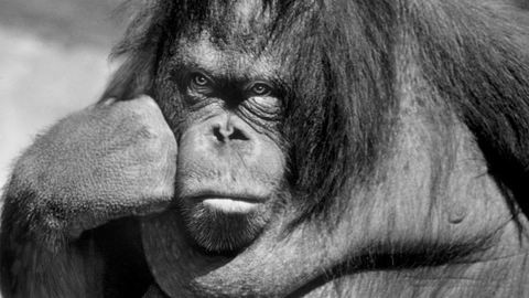 Jó, ha szabadon engedjük Sandrát, a rácsok mögött élő orangutánt?