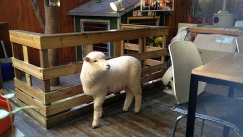 Új őrület: kávézz bárányokkal!