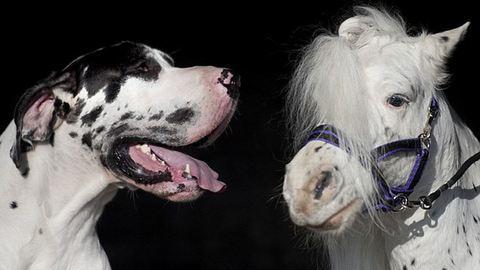 Egy dán dog lett a törpeló legjobb barátja – fotók