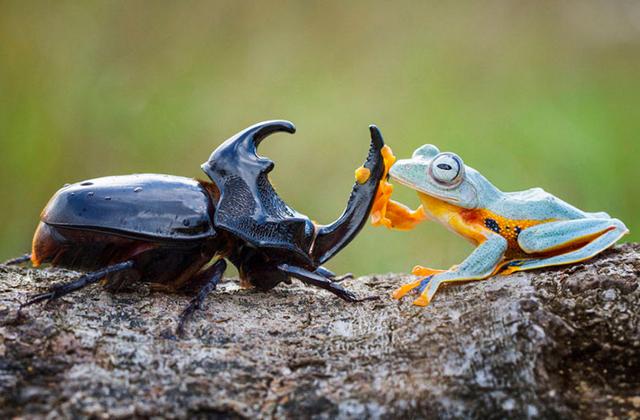 Lenyűgöző fotók: bogár hátán lovagol a béka