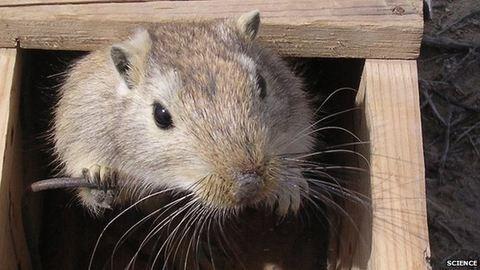 Mégsem a patkányok felelősek a pestisért?