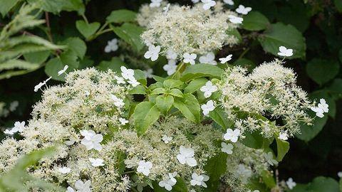 Két gyönyörű virág, amivel befuttathatod a teraszt