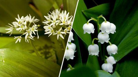 Medvehagyma vagy gyöngyvirág? – 5 segítség, hogy felismerd őket!