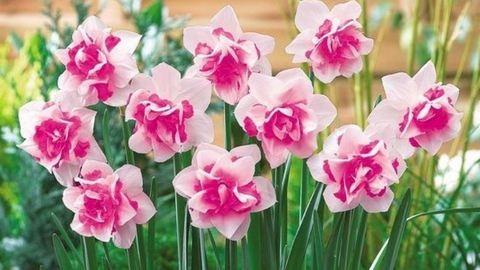 Virágok a teraszra: tulipán, nárcisz, jácint