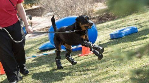 Újra jár az amputált mancsú kutya – videó