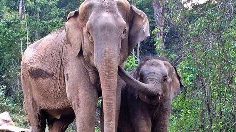 Megható videó: így örült egymásnak az elefántborjú és az anyja