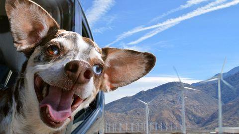 Bájos fotók: kutyák, akik imádnak autózni