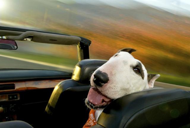 Bájos futók: kutyák, akik imádnak autózni