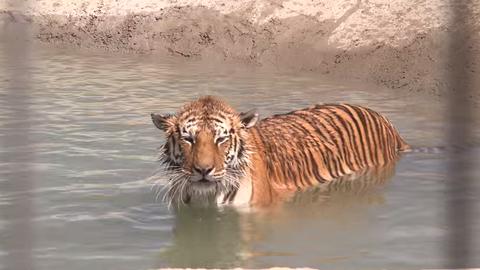 Megható videó: pajkos kölyökmacskaként lubickol a mentett tigris