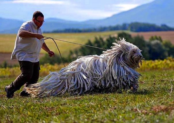 20 kutya, akik rendesen ránőttek a gazidjuk fejére - elképesztő fotók