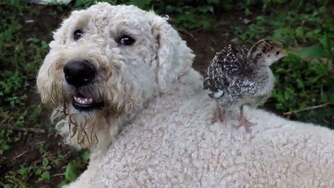 Cuki videó: két kutyus, aki minden állattal összebarátkozik
