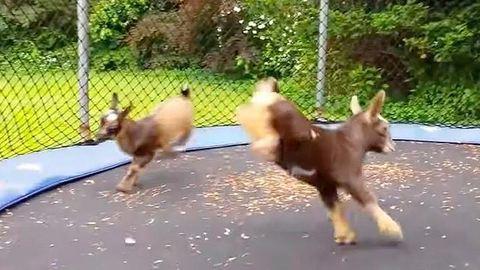 Trambulinon mókáznak a kecskegidák – videó