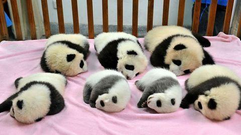 Nézz be a világ legtündéribb helyére: itt a pandaóvoda!