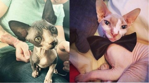 20 szfinx macska, akik annyira csúnyák, hogy már szépek
