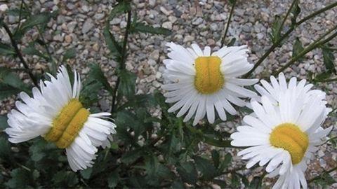 Mutáns virágok nőnek Fukusimában – fotó