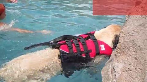 Mentőmellénnyel, gazdája segítségével tanul úszni ez a hatalmas kutya