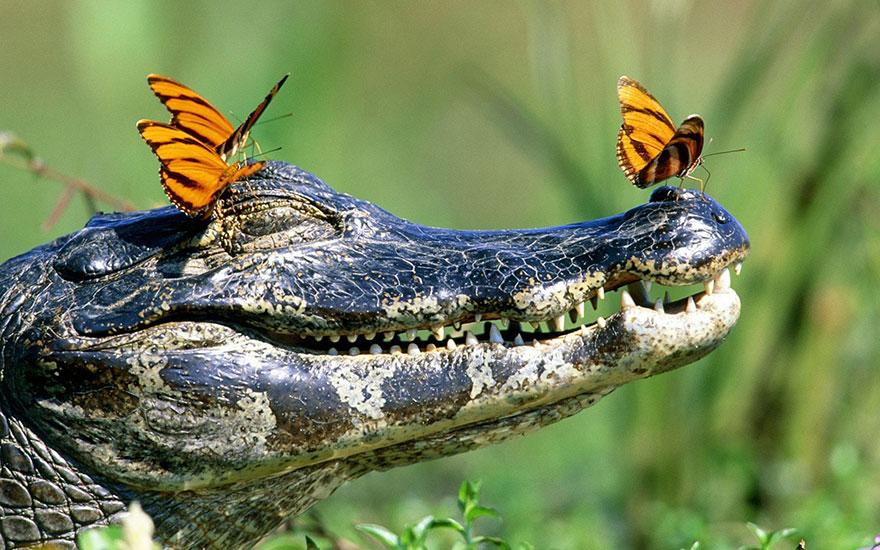 Pillangók, akik más állatok könnyeivel táplálkoznak - különleges képek