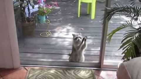 Bekopog az ajtón a mosómedve, ha enni kér – cuki videó
