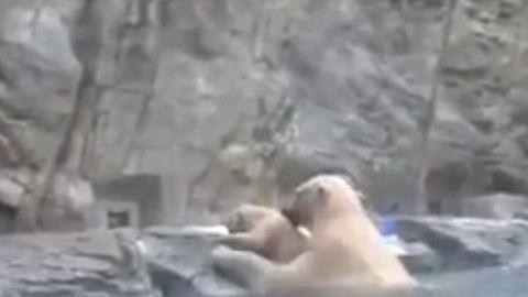 Ezen olvadozik most mindenki: jegesmedve kimenti vízbe esett kölykét