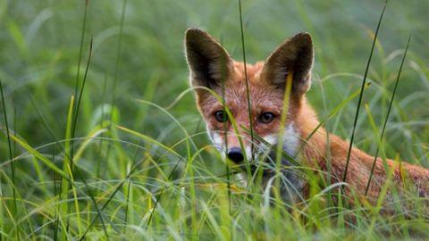 Pogácsát kapnak a magyar rókák