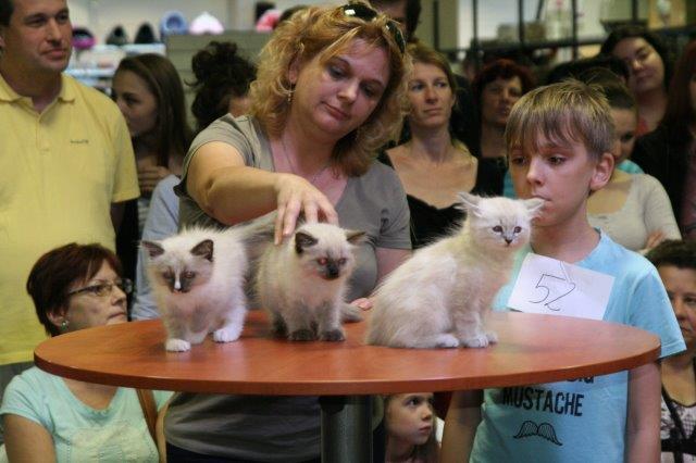 Szőrös óriások és pucér szépségek - macskakiállítás volt Budapesten