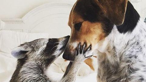 Legkirályabb arc a világon: mosómedve, aki azt hiszi magáról, hogy kutya