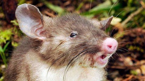Malacorrú patkányt fotóztak – ilyen állatot még nem láttál! – kép