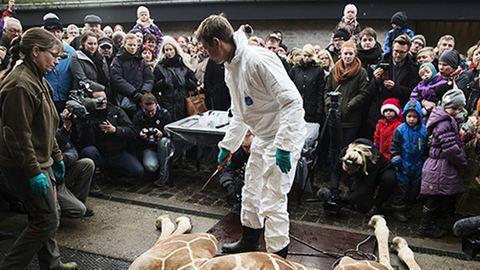 Most egy oroszlánt ölt meg a zsiráfgyilkos állatkert