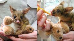 Vigyázat! Ez a bébi oposszum elrabolja a te szívedet is - cuki képek