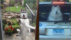 Kutyák, akik emberként viselkednek - vicces képek és gifek