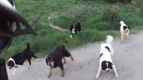 25 megvadult kutya támadt a biciklisre – videó