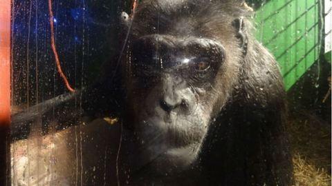 Visszakapta szabadságát a 39 éves cirkuszi csimpánz
