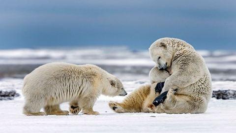 Vicces fotók: nadrágot akart húzni a jegesmedve