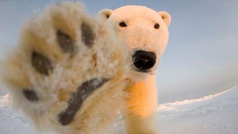 Csodaszép képek testközelből a jegesmedvékről