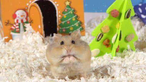 A karácsonyi hörcsögöknél cukibb ma már nem lesz