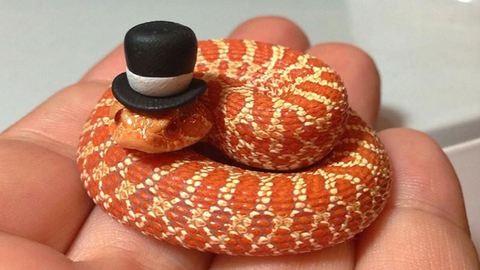 Még a kígyók is aranyosak lesznek egy jópofa fejfedőtől! – fotók